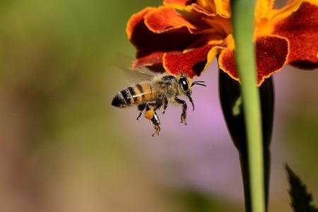 Rôle des pollinisateurs et production alimentaire